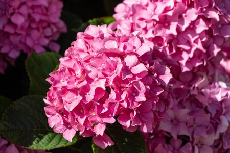 Pink hydrangea flowers in a garden during spring Imagens - 132631943