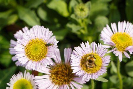 Bee gathering on a purple seaside fleabane in a garden during summer