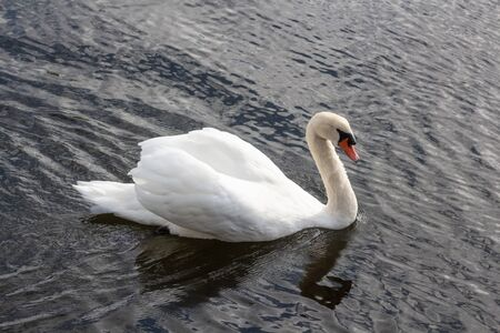 Swan swimming on a river in Brittany