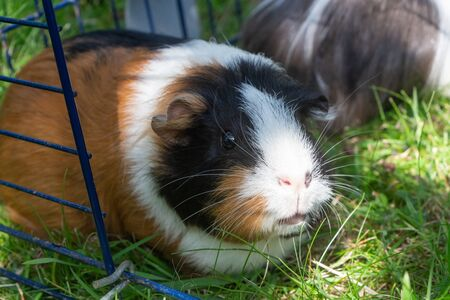 Guinea pig in a wire fencing in a garden