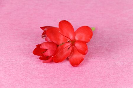 Red flower on pink background for valentines day