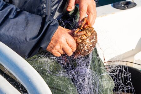 Fisherman removing a spider crab from a net in Brittany 版權商用圖片