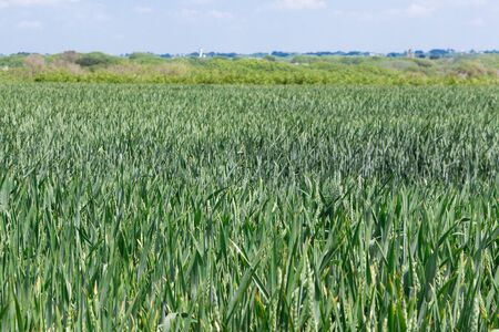 Field of wheat still green in Brittany during spring 版權商用圖片
