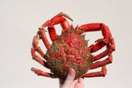 Cooked spider crab in the hand of a woman
