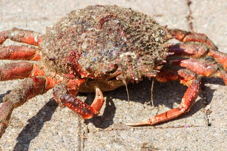 Alive spider crab on pavement after fishing in Brittany