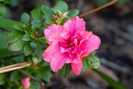 Pink flower of azalea in a garden during winter
