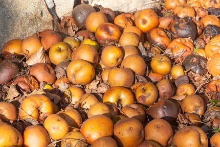 Rotten apples on the ground in an orchard 版權商用圖片
