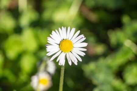 White flower of daisy in a garden during spring