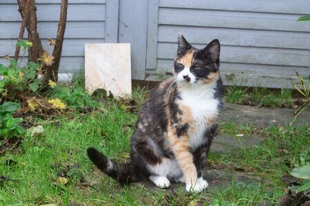 Tortoiseshell cat sitting on grass in a garden 版權商用圖片