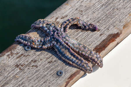 Alive purple common starfish on the deck of a boat