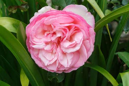 Pink rose in a garden during spring