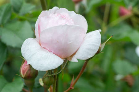 Pink rose with dewdrops in a garden during spring