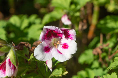 Pink and white geranium flowers in a garden during spring