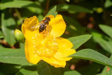 Bee pollinating an hypericum flower in a garden