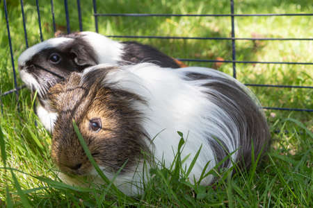Guinea pigs in a wire fencing in a garden