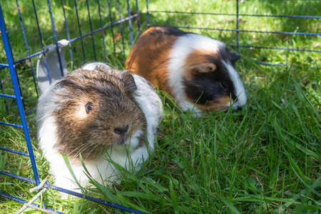 Two guinea pigs in a wire fencing in a garden