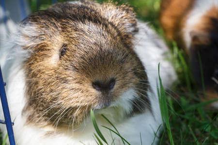 Guinea pig in the grass of a garden Standard-Bild