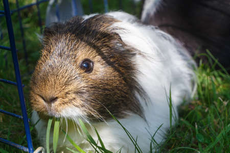 Guinea pig in in a wire fencing in the grass of a garden