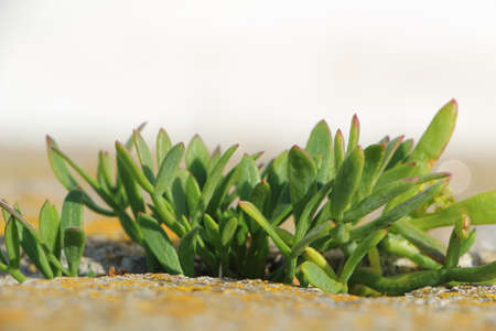 Samphire growing between the stones of a wall near the coast in Brittany Standard-Bild