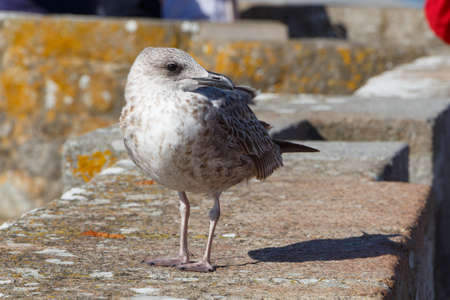Young seagull on a wall near the coast in Brittany Standard-Bild