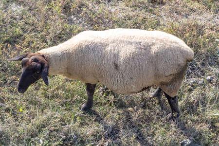 Sheep of salted field near Mont Saint-Michel