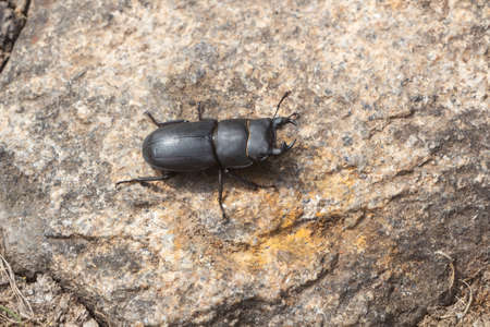Stag beetle on a stone in a garden