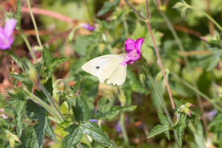 Cabbage white butterfly pollinate a flower in a garden
