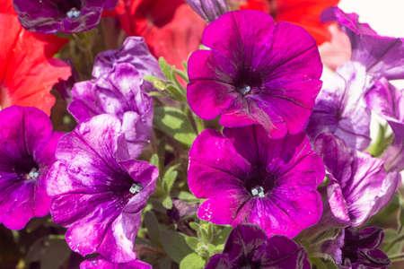 Purple petunia flowers in a garden during spring Standard-Bild