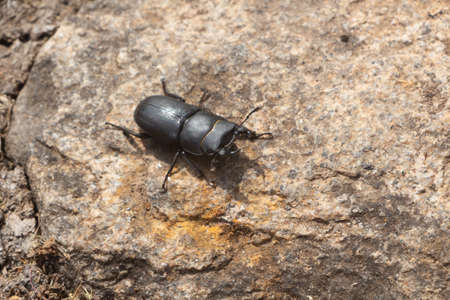 Stag beetle walking on a stone in a garden