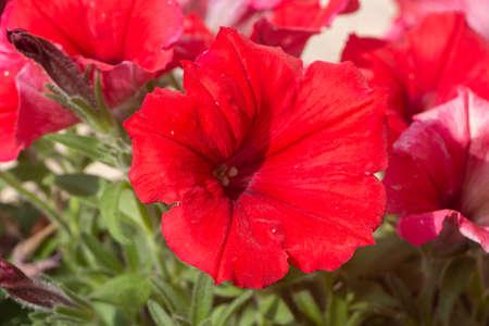 Red petunia flowers in a garden during spring Standard-Bild
