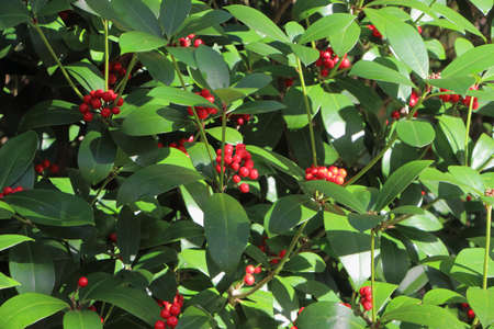 Plant of Japanese skimmia with red berries in a garden during autumn Stock fotó
