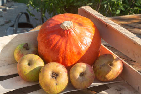 Pumpkin and apples in a crate after harvesting 版權商用圖片