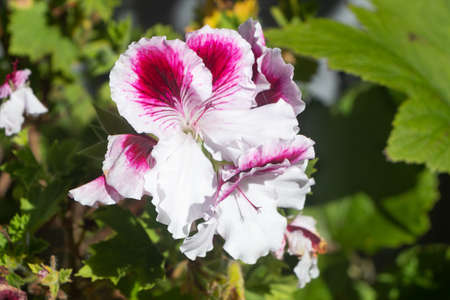 Pink and white geranium flowers in a garden during summer