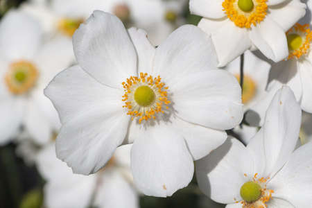 White flowers of Japanese anemone in a garden during summer