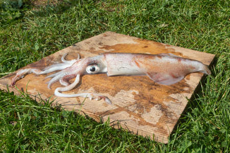 Raw fresh squid after fishing in Brittany