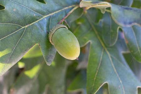Green acorn on an oak tree during summer 版權商用圖片