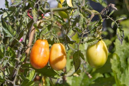 Tomatoes growing in a vegetable garden during summer 版權商用圖片