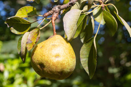 Pear ripening on a pear tree in an orchard during summer 版權商用圖片