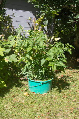 Tomato plant growing in a flowerpot during summer