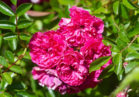 Pink roses in a garden during summer