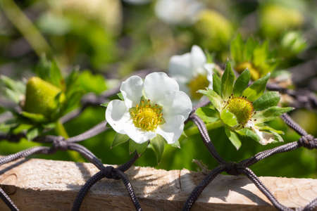 Flowers and little strawberries ripening in a vegetable garden during summer