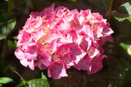 Pink hydrangea flowers in a garden during summer 版權商用圖片