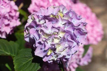 Purple hydrangea flowers in a garden during summer 版權商用圖片