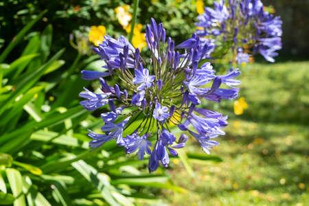 Agapanthus flower in a garden during summer