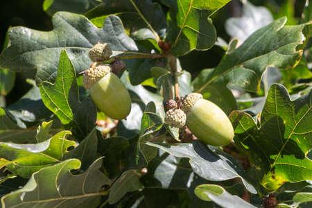 Acorn on an oak tree during summer