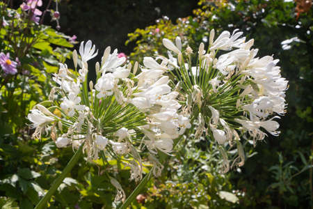 White agapanthus flowers in a garden during summer
