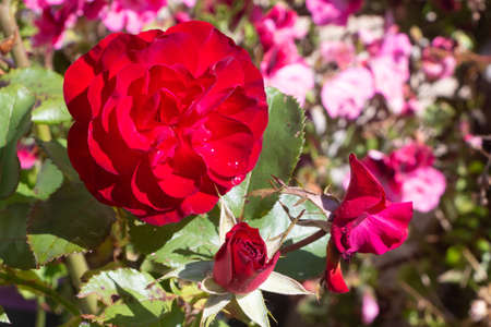 Red rose in a garden during summer