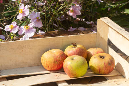 Apples in a crate after harvesting in an orchard 版權商用圖片