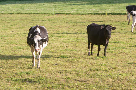 Holstein cows in the field of a farm in Brittany