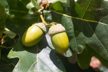 Acorn on an oak tree during autumn 版權商用圖片